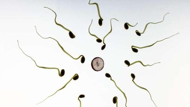 Este compuesto natural podría ser el anticonceptivo masculino ideal